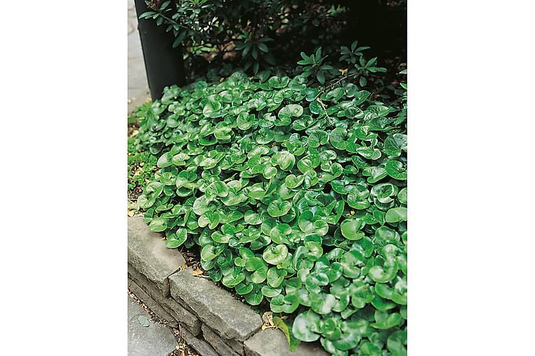 Almindelig hasselurt 15 stk - Rødbrun - Have - Havearbejde & dyrkning
